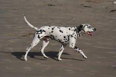 den dalmatian hunden går Arkivfoton