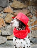 Den Dalmatian hunden i en röd hatt och en halsduk med tofsar sitter på royaltyfria foton