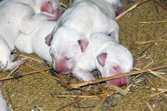 Den Dalmatian hundkapplöpningen Royaltyfria Bilder