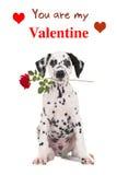 Den Dalmatian valpen med en röd ros och du är min valentintext Royaltyfria Bilder