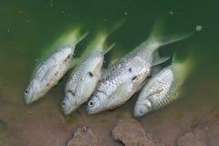 Den döda fisken svävade i det gröna förlorade vattnet Arkivfoto