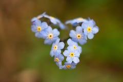 Den Defocused gulliga blåa förgätmigejen hjärta-formade royaltyfri foto