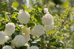 Den dekorativa växten kastar snöboll vita blommor för viburnumen Arkivfoto