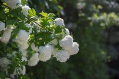 Den dekorativa växten kastar snöboll vita blommor för viburnumen arkivbilder