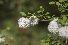Den dekorativa växten kastar snöboll vita blommor för viburnumen arkivbild
