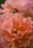 Den delikata aprikons rosa Westerland steg Royaltyfria Bilder