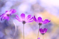 Den delikata lilan blommar på en härlig bakgrund Festlig blom- bakgrund kvinnor för dag s Arkivbild