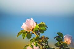 Den delikata rosa blomman av ett löst steg, hunden steg Arkivfoto