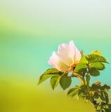 Den delikata rosa blomman av ett löst steg, hunden steg Arkivbild