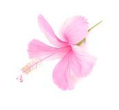 Den delikata rosa hibiskusblomman isoleras på vit Arkivbild