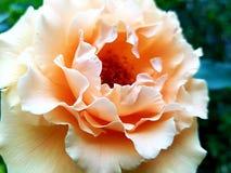 Den delikata våren steg oavkortad blom royaltyfria foton