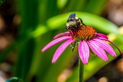Den detaljerade closeupen av härliga rosa färger eller lilor Coneflower med stapplar biet royaltyfri fotografi
