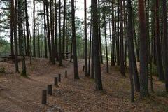 Den dimmiga höstliga barrskogen på soluppgång med gamla granar och sörjer Gran och sörjer träd i den lösa skogen som tänds av sol arkivbild