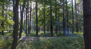 Den dimmiga mörka skogen med en svart skuggar tätt upp Arkivbilder