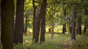 Den dimmiga mörka skogen med en svart skuggar tätt upp Arkivbild