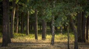 Den dimmiga mörka skogen med en svart skuggar tätt upp Royaltyfria Foton