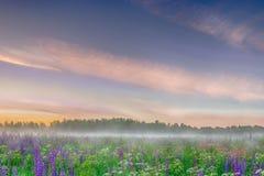 Den dimmiga morgonen på fältet av den lösa blåa lupinusen blommar Härligt landskap royaltyfria foton
