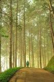 Den dimmiga pinjeskogen på norden av Thailand Arkivbild