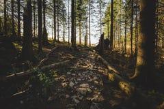 Den dimmiga skogen och många vertikala träd i aftonen tänder Fotografering för Bildbyråer