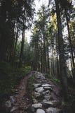 Den dimmiga skogen och många vertikala träd i aftonen tänder Arkivbild