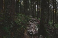 Den dimmiga skogen och många vertikala träd i aftonen tänder Royaltyfri Bild