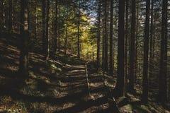 Den dimmiga skogen och många vertikala träd i aftonen tänder Royaltyfria Bilder