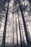 den dimmiga skogen sörjer royaltyfria foton