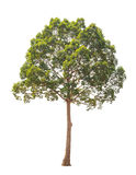Dipterocarpus alatus, tropisk tree som isoleras på vitbakgrund fotografering för bildbyråer