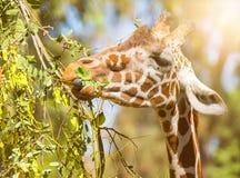 Den djura giraffet äter sidor, närbildstående Arkivfoto