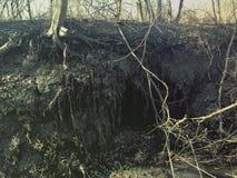 Den djura hålan i träd rotar i irländsk skogsmark Fotografering för Bildbyråer