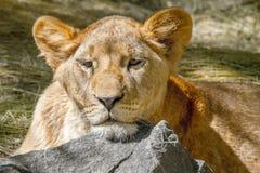 Den djura lejoninnan har lagt hennes huvud på en stor sten Royaltyfri Fotografi