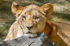 Den djura lejoninnan har lagt hennes huvud på en stor sten Royaltyfria Foton