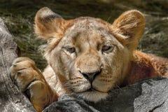Den djura lejoninnan har lagt hennes huvud på en stor sten Royaltyfria Bilder