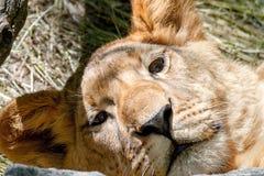 Den djura lejoninnan har lagt hennes huvud på en stor sten Fotografering för Bildbyråer