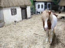 Den djura miniatyrhästen Royaltyfri Foto