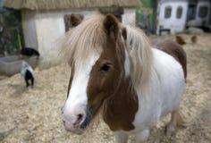 Den djura miniatyrhästen Fotografering för Bildbyråer