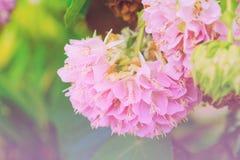 Den Dombeya wallichiien eller rosa färger klumpa ihop sig, eller rosa färger klumpa ihop sig trädet Fotografering för Bildbyråer