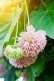 Den Dombeya wallichiien eller rosa färger klumpa ihop sig, eller rosa färger klumpa ihop sig trädet Royaltyfri Fotografi