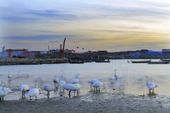 Den dröm- svanen Fotografering för Bildbyråer