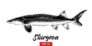 Den drog handen skissar av störfisken i svart som isoleras på vit bakgrund Detaljerad teckning för tappningetsningstil vektor illustrationer