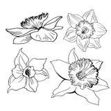 Den drog realistiska handen skissar med blommapåskliljor som isoleras på vit arkivfoto