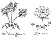 Den drog Valerian St Johns worthanden skissade illustrationen Klotterdiagram Royaltyfri Bild