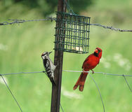 Den duniga hackspetten och kardinalen på en metall fäktar Arkivbilder