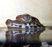 Den dvärg- krokodilen behandla som ett barn Royaltyfria Foton