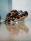 Den dvärg- krokodilen behandla som ett barn Royaltyfria Bilder