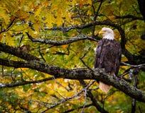 Den Eagle In Fall Oak Tree nedgången färgar majestätiska Loking royaltyfri bild
