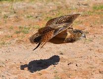 Den Eagle ugglan flyger Arkivfoto