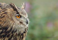 Den Eagle ugglan rynkar pannan Fotografering för Bildbyråer