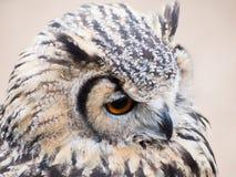 Den Eagle ugglan som ser fast med dess stora apelsin, synar royaltyfria foton