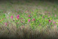 Den Earthnut ärtan blommar i rågen Fotografering för Bildbyråer